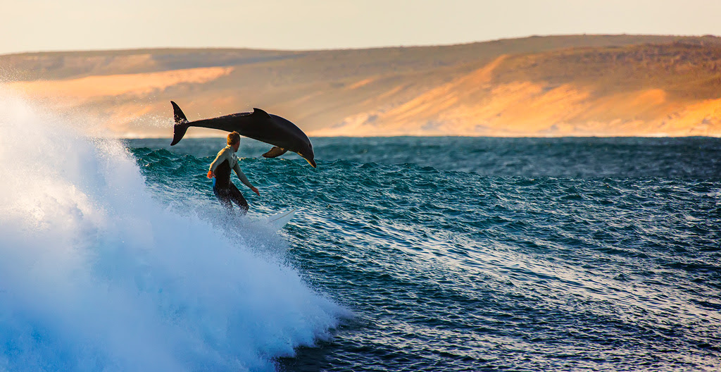 dolphin and surfer riding waves by matt hutton (1)