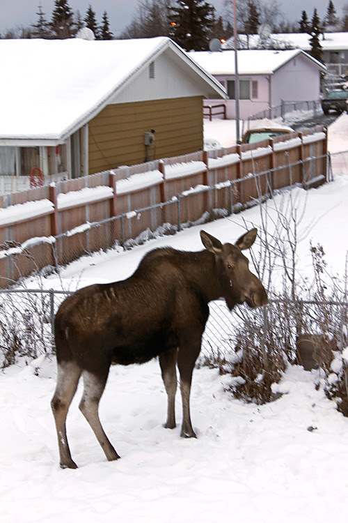moose in a snowy back yard, Anchorage, Alaska