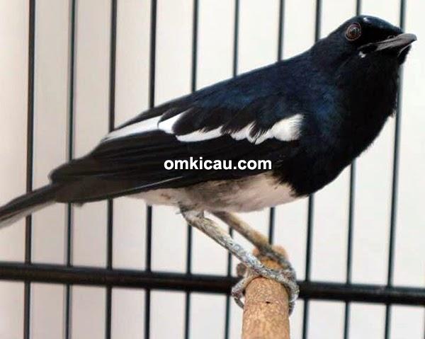 Tips Cara Merawat Burung Kacer Nangkur Burung Kacer