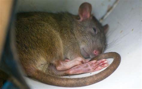 Bumblefoot in Rat Feet   Rat Foot Diseases   Pet Rats
