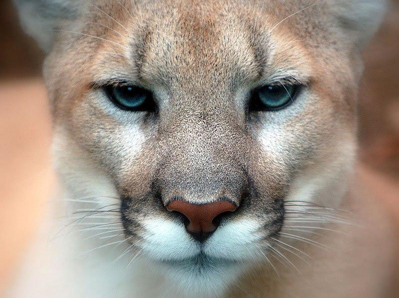 File:Cougar closeup.jpg