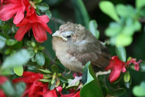 cardinal fledgeling 089