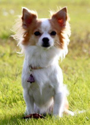 Momo: Chihuahua police dog