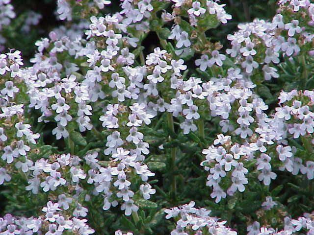 קורנית (צמח) – ויקיפדיה