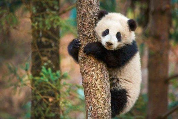 Disney Nature, Disney movies, 2017 releases, panda bears