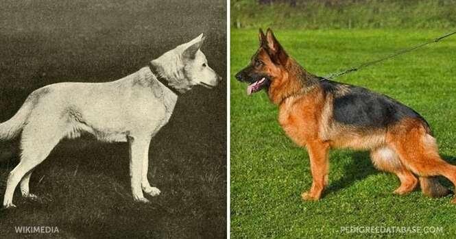 Como as raças de cães mudaram nos últimos 100 anos