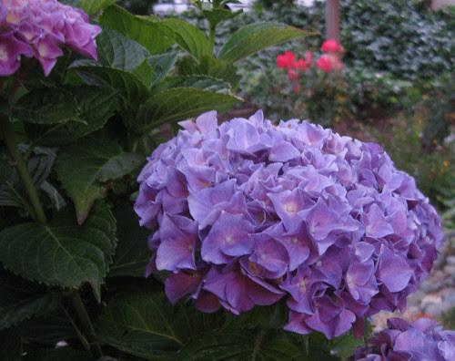 Hydrangea June 11