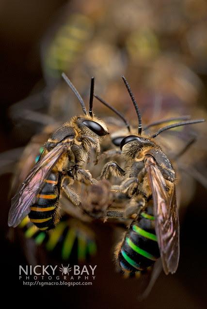 Sweat Bees sleeping (Halictidae) - DSC_2004