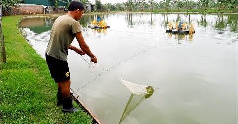 Bác chủ ao quăng chài kiểm tra cá - Xem được bán trưa