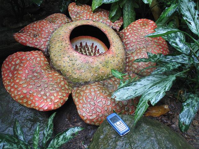 Perierga.gr - Το μεγαλύτερο λουλούδι στον κόσμο