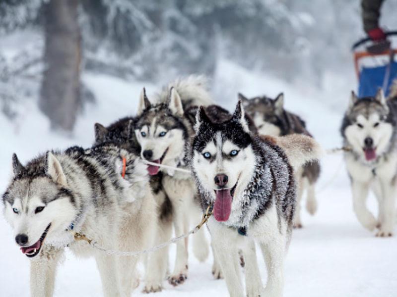 Resultado de imagem para sled dog
