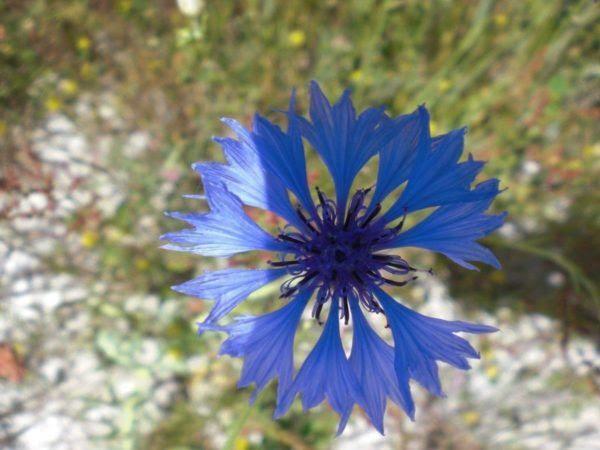 230-plantas-medicinales-mas-efectivas-y-sus-usos-centaurea-planta