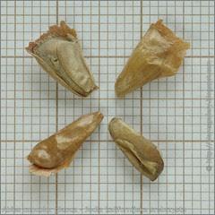 Abies concolor glauca seeds - Jodła kalifornijska srebrzysta, jodła jednobarwna srebrzysta nasiona