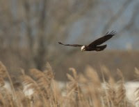 Falco di palude, di F. Damiani