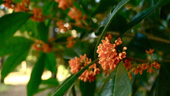金木犀/Orange osmanthus