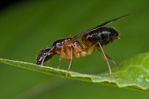 Camponotus sp. queen ant...IMG_8441 copy