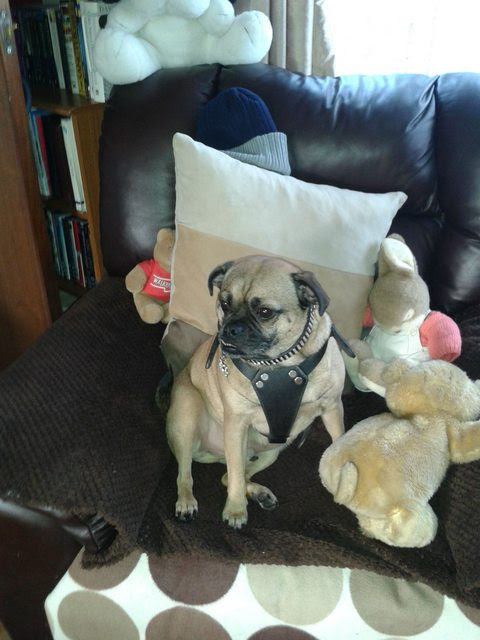 Quintin – 11 year old male Pug cross Border Terrier dog for adoption