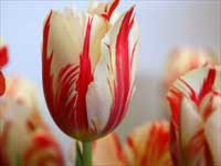 Red striped tulip flowers