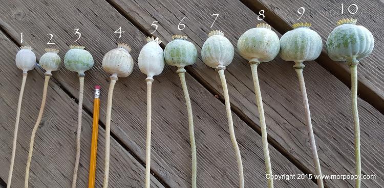Poppy Pod Sizes 2015 Summer Crop