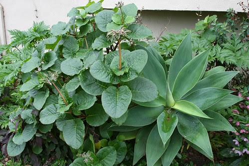 trichodesma scotii and agave attenuata