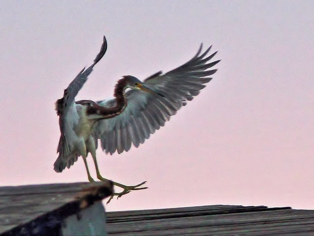 Tricolored Heron landing 03-20131020