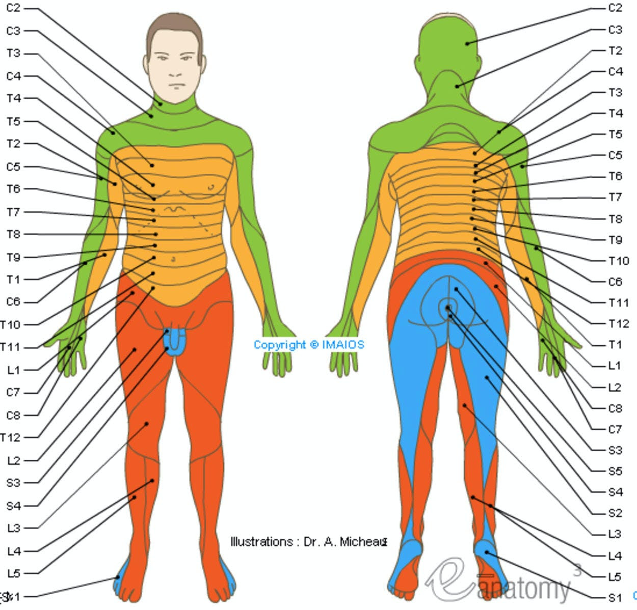 spinal nerve dermatome anatomy schematic_medical512