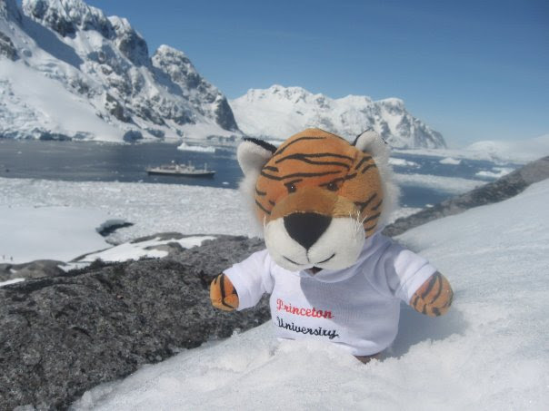 Antarctic tiger