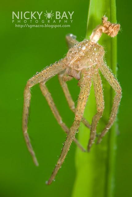 Spider Moult - DSC_1654