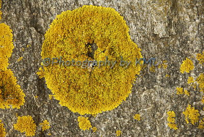 yellow lichen on a rock