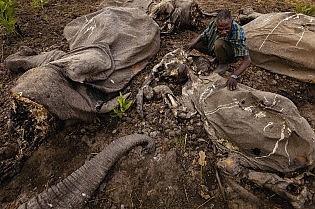 Traffico d'avorio e multinazionale del culto Lo sterminio degli elefanti continua