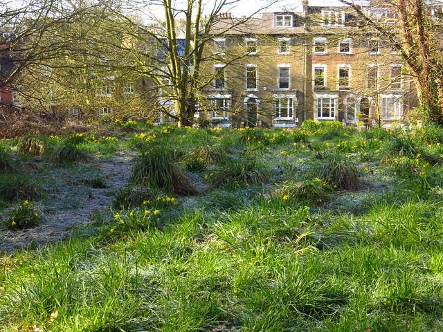 Daffodils on Preacher's Hill