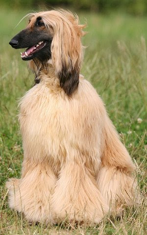Afghan Hounds: Whats Good About Em? Whats Bad About Em?