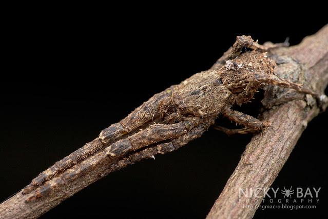 Litter Crab Spider (Borboropactus sp.) - DSC_3512