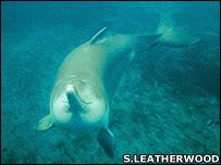 Yangtze river dolphin (Image: Stephen Leatherwood)