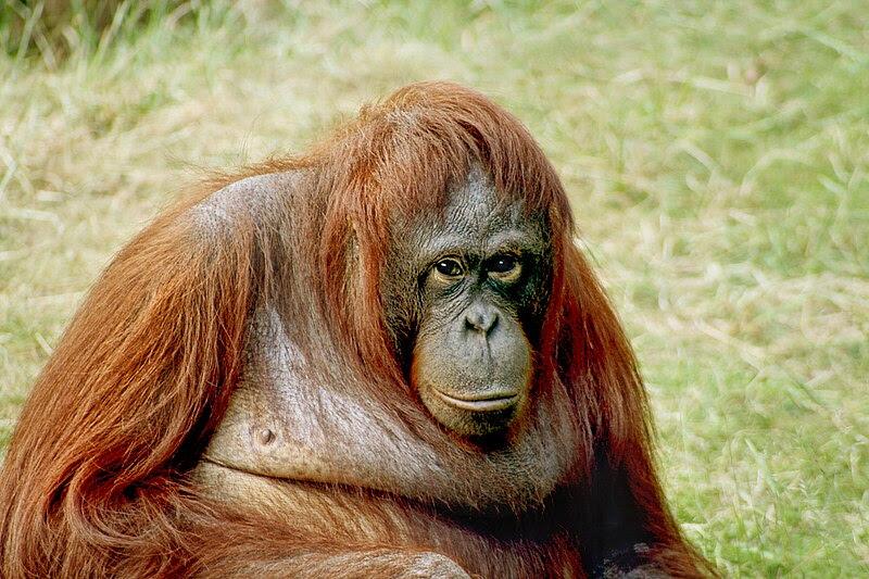 File:Orangutan-bornean.jpg