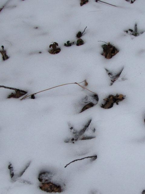 sandhill crane tracks