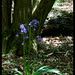 Lonely Bluebell