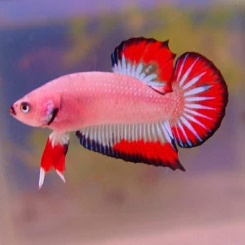 Peluang Usaha Budidaya Ikan Cupang Plakat Dan Analisa ...