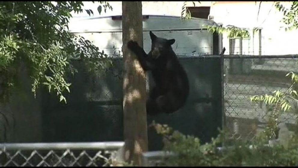 PHOTO: A black bear wandered into a Florida neighborhood.