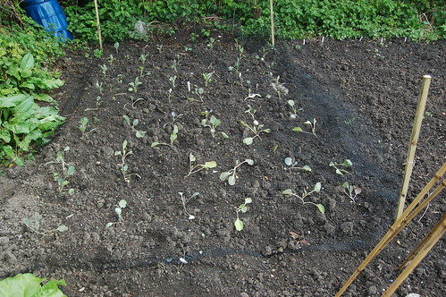 cabbages May 10