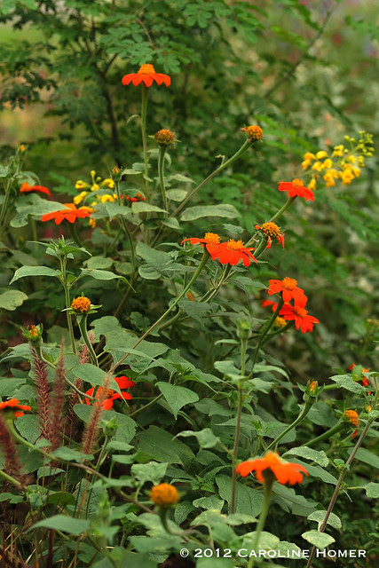 Mexican sunflower, Mexican Bird of Paradise