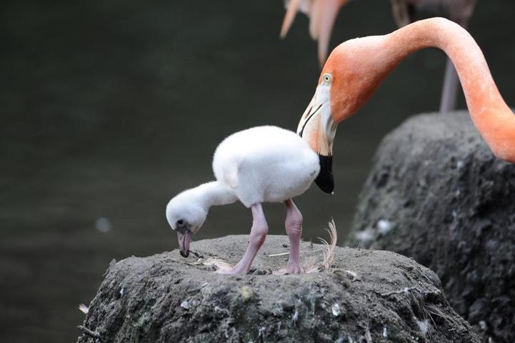 birds, flamingo babe via bestphotosite