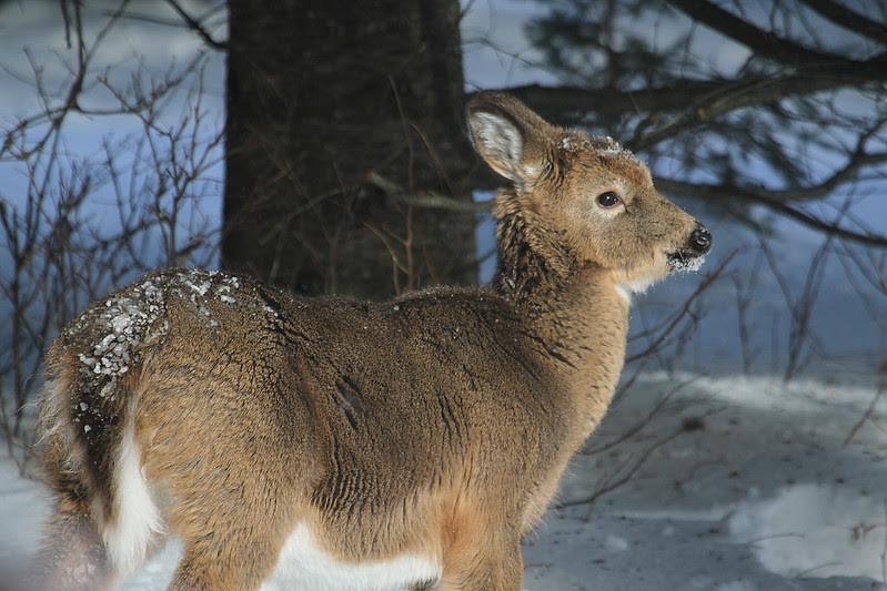 deer young2