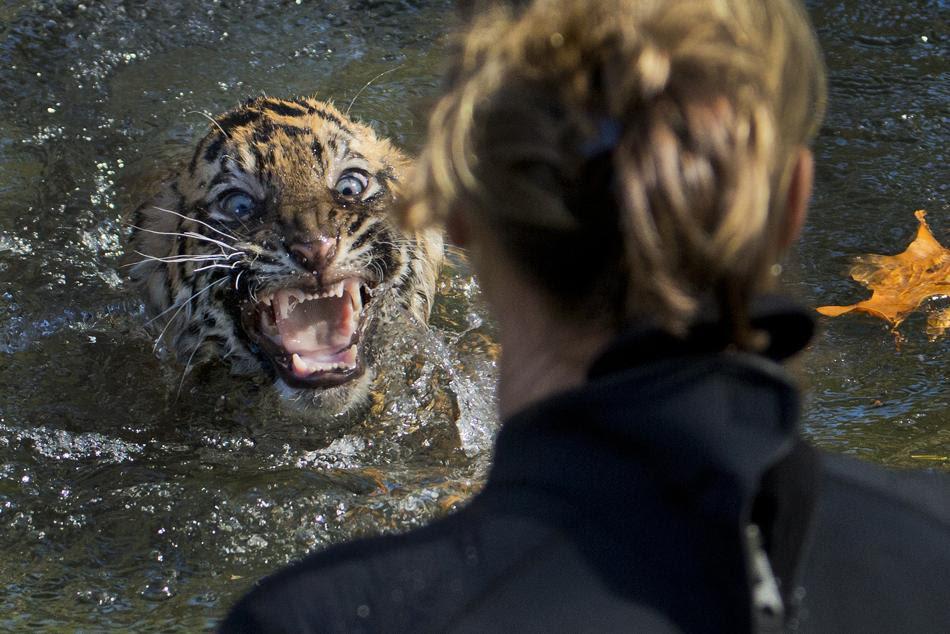 Τιγράκι τριών μηνών της Σουμάτρας στον εθνικό ζωολογικό κήπο στην Ουάσιγκτον αντιδρά όταν το ρίχνουν στη θάλασσα κατά τη διάρκεια μιας δοκιμής για να προσδιορισθεί η ικανότητά του να κολυμπάει (AP Photo / Manuel Balce CeNET)