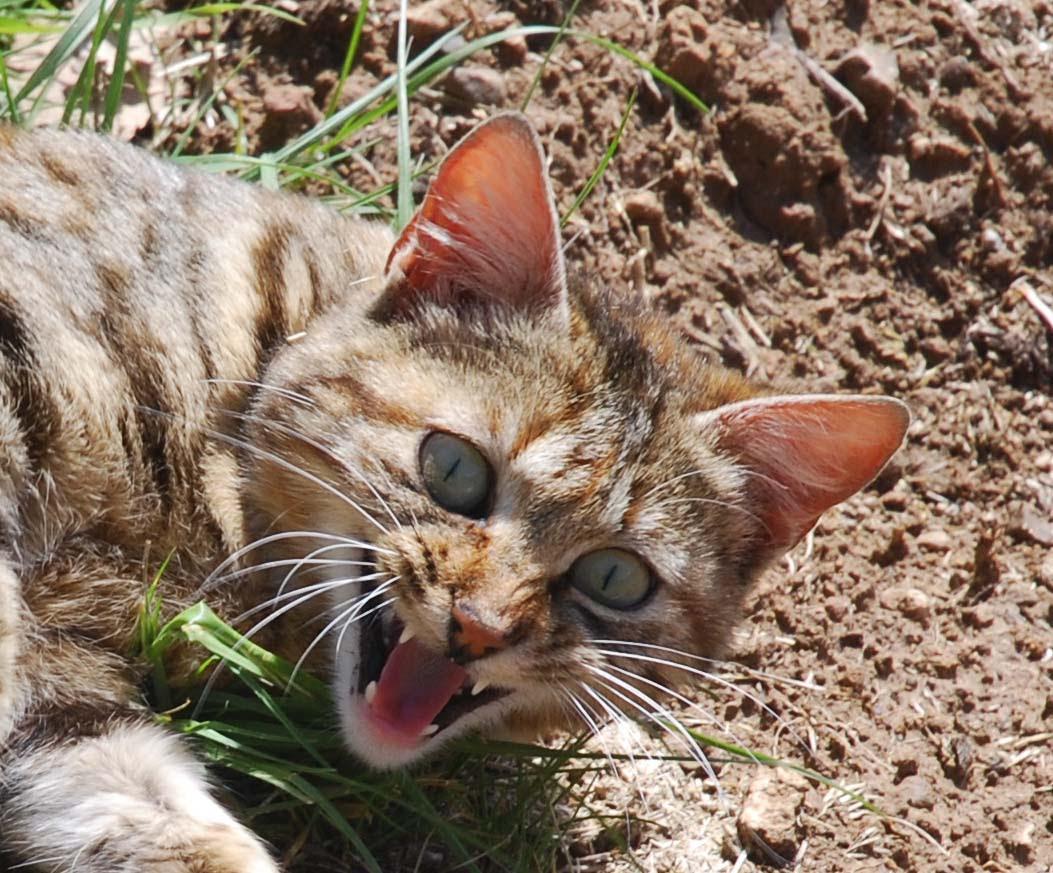 Photo de chat montrant les dents