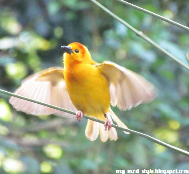 Animal Kingdom yellowbird