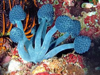 Oxycorynia fascicularis, Stalked Tunicate, Anilao, Philippines