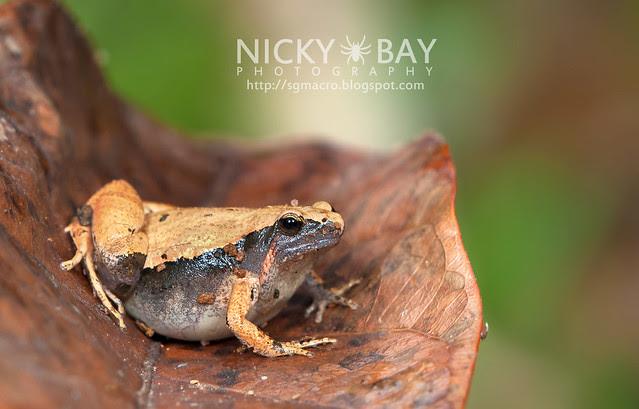 Dark-sided Chorus Frog? (Microhyla heymonsi) - DSC_4864