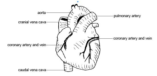 Anatomy_and_physiology_of_animals_heart_showing_Coronary_vessels