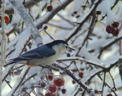 Icy nuthatch